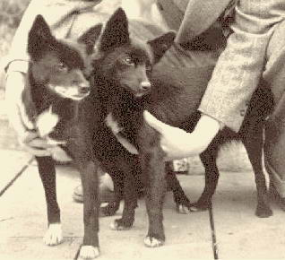 theories on the origin of techichi Many theories surrounding the origin of the breed originated in mexicothe most common theory is that chihuahuas are descended from the techichi, a.